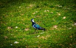 Northern Lapwing bird standing in middle of grass with leaves stock image