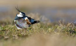 Northern lapwing cleans his plumage after washing himself stock photos