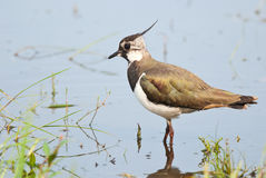 Green Plover. Northern Lapwing standing in water in spring Royalty Free Stock Photos