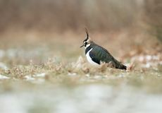 Northern lapwing in the field with snow Stock Image