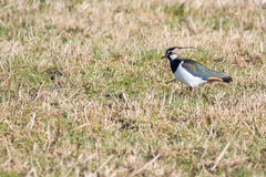 Northern lapwing. On a field in spring Royalty Free Stock Photo
