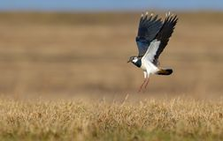 Northern lapwing flies over dry yellow field and ground with lifted wings royalty free stock photography
