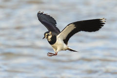 Northern Lapwing in flight Royalty Free Stock Image