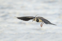 Northern Lapwing in flight Royalty Free Stock Photo