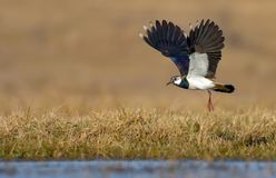 Northern lapwing flies over dry grass field with fully spreaded wings royalty free stock photo