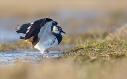 Northern lapwing goes out of water with up beating wings stock images