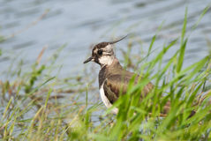 Northern Lapwing. Or Peewit hiding in grass Stock Photography