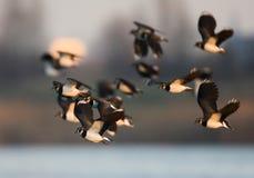 Northern Lapwing, Kievit, Vanellus vanellus. Northern Lapwing flock flying; Kievit groep vliegend royalty free stock photo