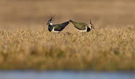 Northern lapwings male and female go in courtship and love show stock photos