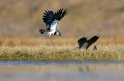 Northern lapwing males combat in air of spring field. Northern lapwing males fighting in air at spring in fields stock image