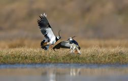 Northern lapwing males fierce fight in spring field. Northern lapwing males severe combat in air in spring in fields stock photo