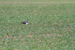 The Northern lapwing Stock Photography