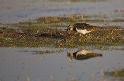 Northern Lapwing on a Meadow stock images