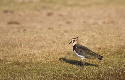 Northern Lapwing on a Meadow Royalty Free Stock Photography
