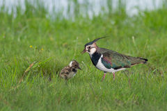 Northern Lapwing Stock Images