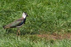 Northern Lapwing or Peewit Royalty Free Stock Photography