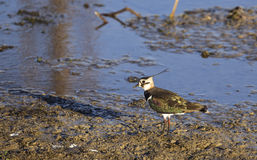 Northern Lapwing on a Pond royalty free stock images