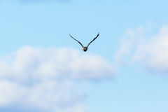 Northern Lapwing in the sky Royalty Free Stock Photos