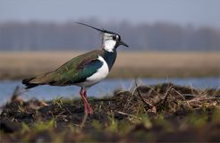 Northern lapwing stands near a lake in field stock photography