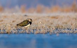 Northern lapwing stands near a shore in icy fields in frost early morning stock photography