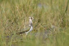 Northern Lapwing - Vanellus vanellus royalty free stock image