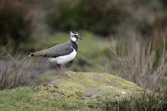 Free Northern Lapwing, Vanellus Vanellus Stock Images - 35675984