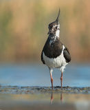 Northern Lapwing Royalty Free Stock Photo