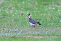 A northern lapwing Vanellus vanellus stock photo