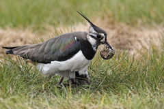 Northern lapwing, Vanellus vanellus Royalty Free Stock Image