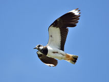 Northern Lapwing (Vanellus vanellus) Royalty Free Stock Photography