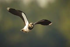 Northern Lapwing, Vanellus vanellus, in flight Stock Photo