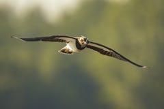 Northern Lapwing, Vanellus vanellus, in flight Royalty Free Stock Photos
