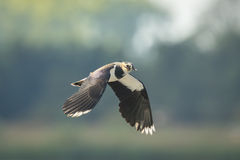 Northern Lapwing, Vanellus vanellus, in flight Stock Photography