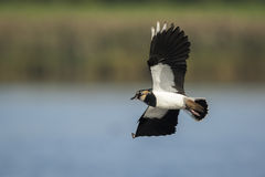 Northern Lapwing, Vanellus vanellus, in flight Royalty Free Stock Photography