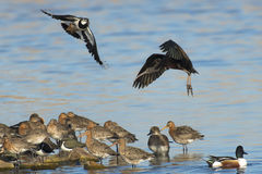 Northern Lapwing Royalty Free Stock Photography