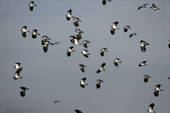 Northern lapwing, Vanellus vanellus Stock Photo