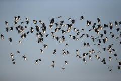 Northern lapwing, Vanellus vanellus Royalty Free Stock Image