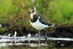 Northern Lapwing Vanellus vanellus Stock Photo