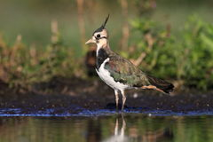 Northern Lapwing Vanellus vanellus Royalty Free Stock Photo