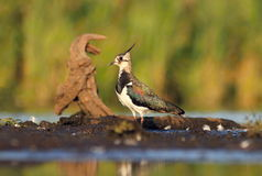 Northern Lapwing Vanellus vanellus Royalty Free Stock Photos