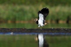 Northern Lapwing Vanellus vanellus Stock Image