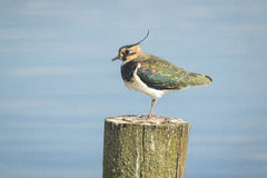 Northern Lapwing, Vanellus vanellus, perched Stock Photo