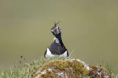 Northern lapwing, Vanellus vanellus Stock Images