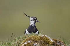 Northern lapwing, Vanellus vanellus Royalty Free Stock Images