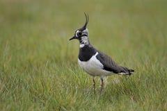 Northern lapwing, Vanellus vanellus Stock Image