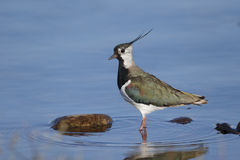 Northern lapwing, Vanellus vanellus Royalty Free Stock Photos