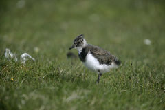 Northern lapwing, Vanellus vanellus Royalty Free Stock Photo