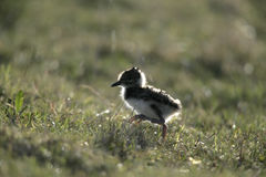 Northern lapwing, Vanellus vanellus Stock Photography