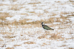 Northern Lapwing in winter Royalty Free Stock Photos