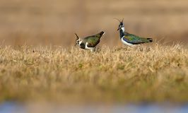 Northern lapwings male and female make courtship and love show. Northern lapwing male and female do courtship and love display royalty free stock images
